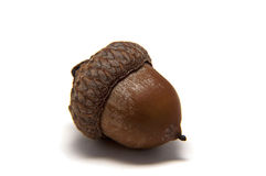 Acorn on white background Stock Images