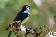 Acorn Wood Pecker in deep thought stock images