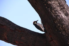 Acorn woodpecker Royalty Free Stock Image