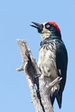 Acorn Woodpecker Stock Image