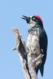 Acorn Woodpecker Stock Image