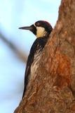 Acorn Woodpecker Looking Away Royalty Free Stock Image