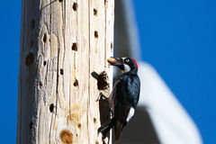 Acorn Woodpecker, Melanerpes formicivorus Royalty Free Stock Photos