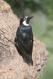 Acorn Woodpecker (Melanerpes formicivorus) Royalty Free Stock Image