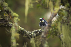 Acorn Woodpecker Royalty Free Stock Images