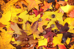 Acorn and yellow autumn leaves background Stock Photos
