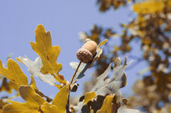 Acorn on a yellow tree. In autumn Stock Photography