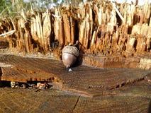 Acorn z drewnianym tłem Zdjęcia Royalty Free
