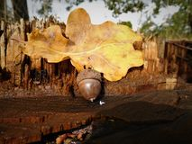 Acorn z kolorowym liściem Zdjęcie Royalty Free