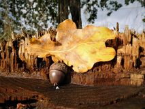 Acorn z kolorowym liściem Obraz Stock