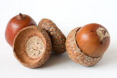 Acorns. Isolated on a bright white background stock photo