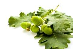 acorns стоковое фото rf