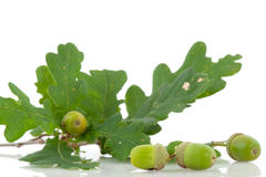 Acorns Royalty Free Stock Photo