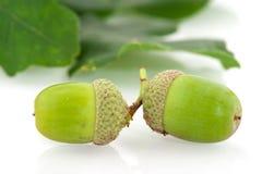 acorns Zdjęcie Stock