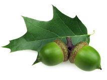 Acorns. Two acorns and oak leaf on a white background Stock Images