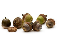 Acorns. Royalty Free Stock Photo
