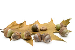 Acorns. Royalty Free Stock Images