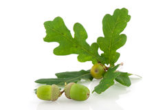 Acorns. With leaves from the tree in fall Stock Image