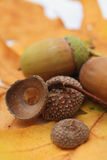 acorns Obraz Royalty Free
