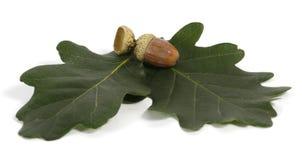 Acorns. Brown acorns relating to oaken leaves Royalty Free Stock Photos