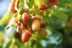acorns zdjęcia royalty free