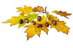 acorns Obrazy Stock