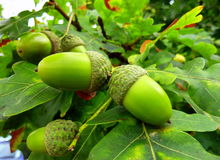 Acorns. Twin acorns on oak tree branch Royalty Free Stock Photos