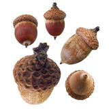 Acorns Stock Photos