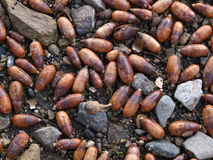 Acorns Royalty Free Stock Images