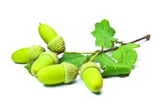 Acorns Stock Photography