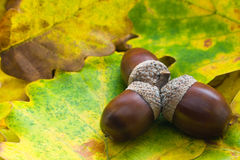 Acorns. Three brown acorns with leaves Stock Photography