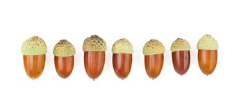 The acorns Stock Image