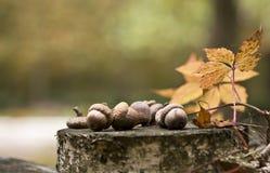 acorns Zdjęcie Royalty Free