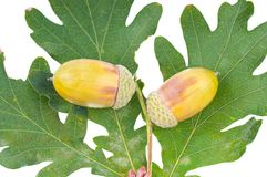 The acorns Royalty Free Stock Photography