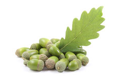 Acorns Stock Images