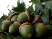 Acorns. On green leafs Royalty Free Stock Images