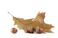 Acorns. With an oak leaf on the white background Royalty Free Stock Photo