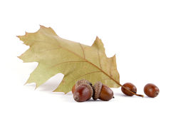 Acorns. With an oak leaf on the white background Stock Photography