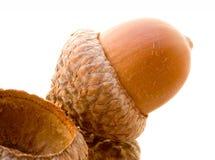 acorns Fotografia Stock