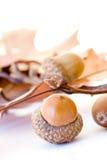 acorns Obraz Stock