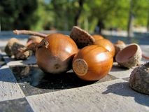 Acorns on the abstract background Stock Image