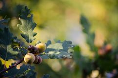 Acorns. Contain 37 percent starch, vegetable oils, tannins, carbohydrates and more. In spite of considerable nutritional value, human diet has been used only as stock images