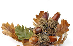 Free Acorns And Oak Tree Leaves Royalty Free Stock Images - 22222069