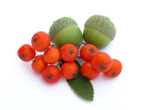 Acorns and ashberry Stock Photography