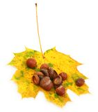 Acorns on autumn leaf Royalty Free Stock Image