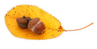 Acorns on autumnal leaf Royalty Free Stock Image