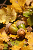 Acorns on autumns leaves. Green acorns on a carpet of autumns oak leaves Royalty Free Stock Image