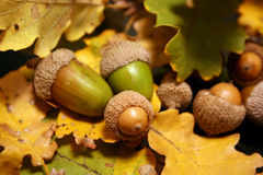 Acorns on autumns leaves. Green acorns on a carpet of autumns oak leaves Royalty Free Stock Photography