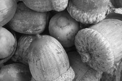 Acorns in black and white Royalty Free Stock Photo