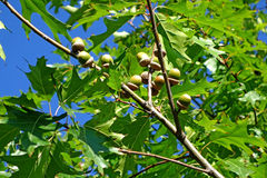 Acorns on a branch of oak Royalty Free Stock Photo